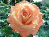 Rosenblüte Lachs