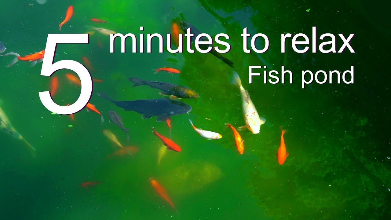5 Minutes to Relax: Fish Pond Relaxing Music with Fish Swimming Top View - Relaxation Break 5011