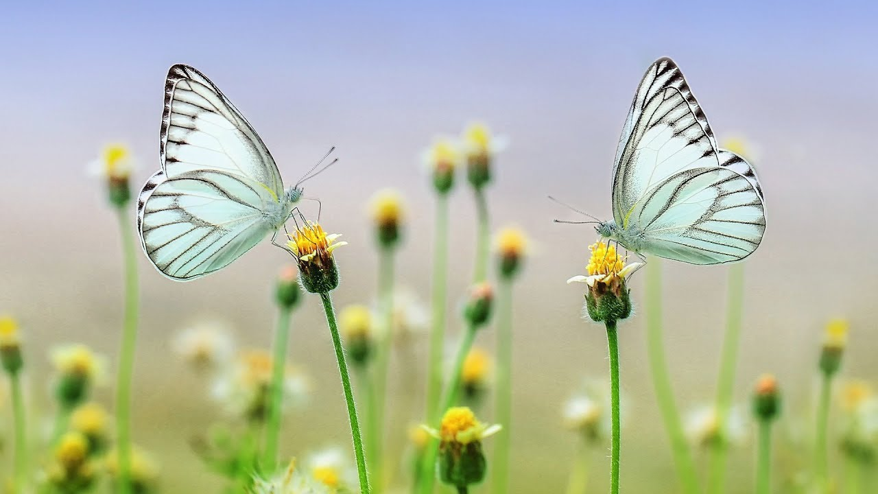 Beautiful Butterfly Video with Relaxing Music | Calming Music for Sleep | Butterfly Pictures Video
